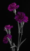 Purple Carnation flowers selective color