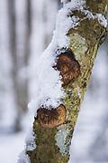 Polypore Dichomitus campestris growing on hazel (Corylus avellana) in winter, near Kalupe, Latgale, Latvia Ⓒ Davis Ulands | davisulands.com