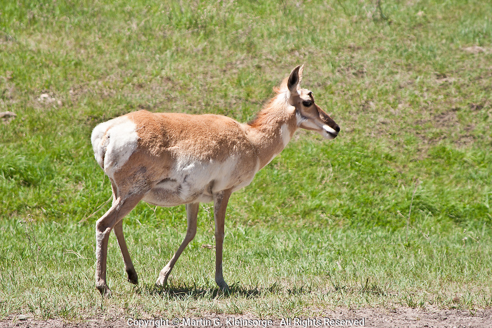 A female pronghorn (Antilocapra americana).  Often called antelopes, it is purely a North American species.  Pronghorns are the fastest mammal in North America, with speeds of 40-50 mile-per-hour bursts are common.   Custer State Park, South Dakota.
