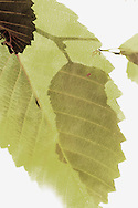 An artistic post-processing of a photograph of Red Alder (Alnus rubra) leaves.  The Fixer as in Nitrogen Fixer.