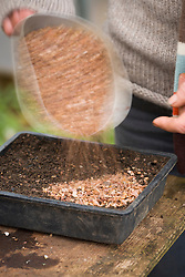 Sowing agapanthus seed into seed tray. Covering with grit