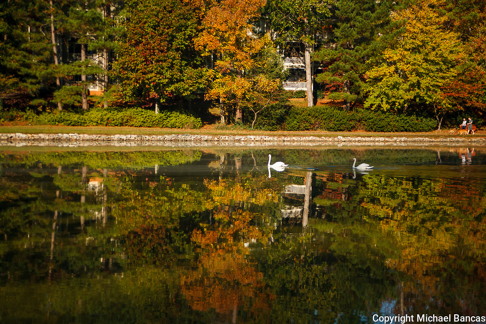 Swan family swimming among the fall colors on a small lake