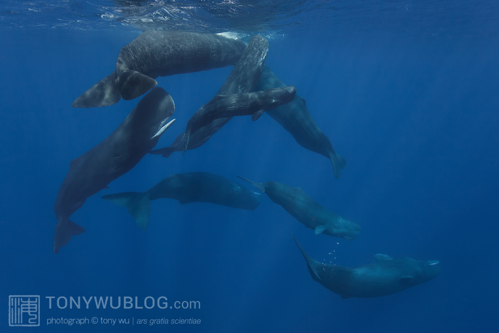 A family unit of sperm whales (Physeter macrocephalus) off the coast of Rouseau, Dominica. The group comprises adult females and juvenile whales. Notice that the individual deepest down is passing gas, which sperm whales seem to do a lot.
