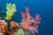 Elephant Ear Sponge (Agelasidae) & Soft Coral (Nephtheidae)<br /> Cenderawasih Bay<br /> West Papua<br /> Indonesia