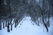 Tree arch over avenue in heavy snow