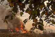 Lemon trees are seen at a farmland as the wildfire in the background at along a hillside in Point Mugu, Calif., Friday, May 3, 2013..(AP Photo/Ringo H.W. Chiu)