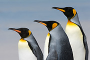Close up portrait of three King penguins, Aptenodytes patagonica.