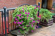 Purple petunias by a gate.  Spala   Poland