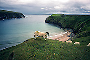 Sheep along the Cliffs of Moher during a storm Shannon Ireland