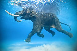 """This is Rajan. An Asian elephant that was brought to the Andaman Islands in the 1950s to help extract timber from the jungles. Along with a small group of 10 elephants, he was forced to learn how to swim in the ocean to bring logged trees to nearby boats. When logging became banned in 2002, Rajan was out of a job. He was the last of the group to survive and enjoyed his retirement by swimming in the ocean and foraging in the jungle he once used to log. He died at the age of 66 in 2016. <br /> <br /> BIO: An award winning photographer, Jody MacDonald is no stranger to adventure and exploration in the last untamed corners of the planet. Having spent her formative years in Saudi Arabia before sailing around the world twice over the span of a decade on kiteboarding, sailing, surfing and paragliding expeditions, she has traveled to over 90 countries in search of the unknown. From train hopping in the Sahara to paragliding in the Himalayas at 17,000 ft she is passionate about stepping off the beaten path in pursuit of documenting issues that blend insightful storytelling, big adventure expeditions and social change inspiration in the hopes of promoting the preservation of wild places. She has worked on prominent campaigns with companies such as Disney, HP, Ford and Leica and has had the opportunity to speak on the TEDx stage. Recently, Men's Journal named her as """"One of the 25 Most Adventurous Women in the Past 25 years."""" You can see her images in many international publications such as National Geographic, Red Bull, Outside, BBC, Patagonia, Islands, and Men's Journal among others.<br /> <br /> WEBSITE: jodymacdonaldphotography.com<br /> INSTAGRAM: @jodymacdonaldphoto"""