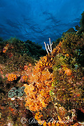 spotted scorpionfish, Scorpaena plumieri, <br /> lies on reef camouflaged as a rock,<br /> Walker's Cay, Abaco Islands, Bahamas ( Atlantic Ocean )