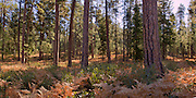 Ponderosa forest near the Metolius River in the Deschutes National Forest, Oregon.