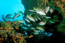 game fish, schoolmasters, Lutjanus apodus, Columbia, Cozumel, Mexico, Caribbean Sea, Atlantic Ocean