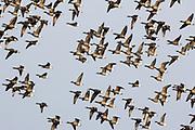 Brent geese in flight. Poole Harbour, Dorset, UK.