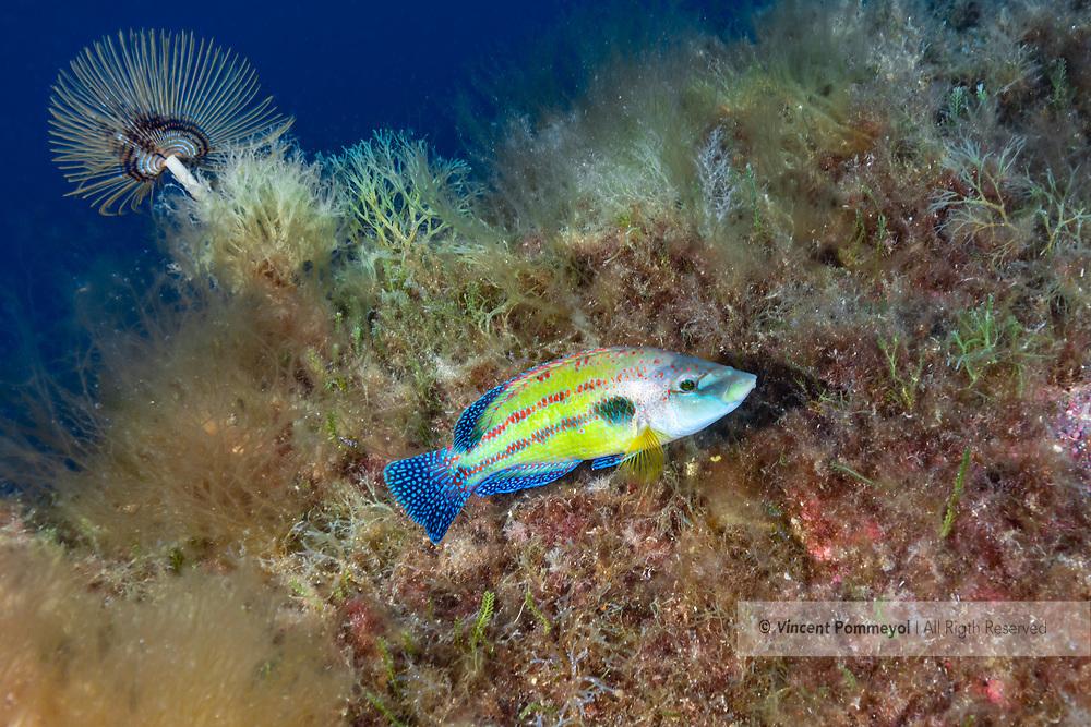 East Atlantic peacock wrasse-Crénilabre paon (Symphodus tinca) of mediterranean sea.
