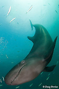 false killer whale, Pseudorca crassidens (c,de)
