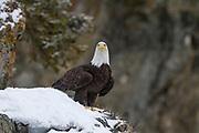 Bald Eagle in Alaska during winter