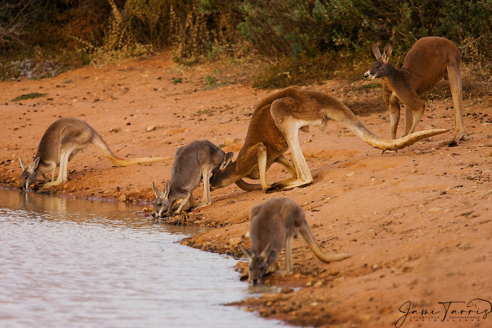 Two large male red kangaroos (Macropus rufus) show interest in a female in oestrus at a water hole,  Sturt Stony Desert,  Australia