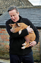 © Licensed to London News Pictures. File picture dated 21/03/2014. British prime minister DAVID CAMERON holding Florence the pig which he has gifted to Cogges Manor Farm. A book, written by Lord Ashcroft, has made claims about an initiation ceremony David Cameron took part in as a student involving a pig.  Photo credit : Mark Hemsworth/LNP