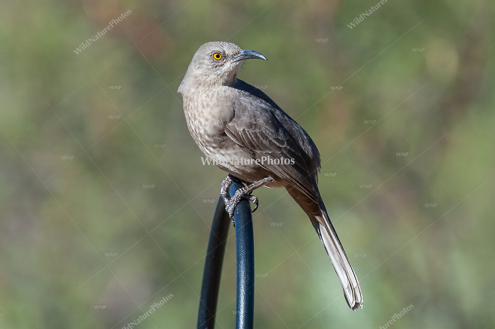 Curve-billed Thrasher (Toxostoma curvirostre) perched on a black metal bar in a garden in the Sonoran Desert, (Arizona)