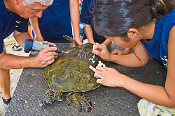 Teacher Marc Rice and his students from Hawaii Preparatory Academy (HPA), inscribing and painting a number on the carapace (turtle shell) of a Green Sea Turtle, Chelonia mydas, Marine Turtle Research, organized by researcher George Balazs, PhD, NOAA National Marine Fisheries Service (NMFS), HPA students and teachers (NOAA/HPA Marine Turtle Program), and ReefTeach volunteers at Kaloko-Honokohau National Historical Park, Kona Coast, Big Island, Hawaii, Pacific Ocean.