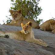African Lion (Panthera leo) Young lions resting on rocks. Serengeti National Park. Tanzania. Africa. February.