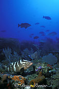 Nassau groupers, Epinephelus striatus, normally solitary, form large spawning aggregations once a year, Belize Barrier Reef, Belize, Central America  ( Caribbean Sea )