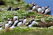 Atlantic puffins (Fratercula arctica) congregate on a rocky bluff on the island of Grímsey, Iceland. Tens of thousands of puffins breed on Iceland's cliffs during the summer. They spend the rest of the year at sea. The island of Grímsey, which straddles the Arctic Circle, is the northernmost inhabited Icelandic territory.