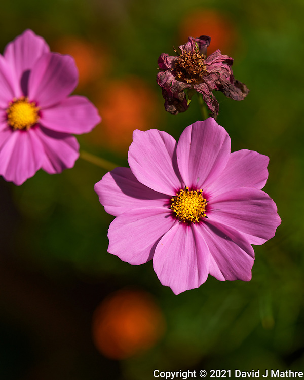 Cosmos. Image taken with a Leica SL2 camera and 24-90 mm lens.
