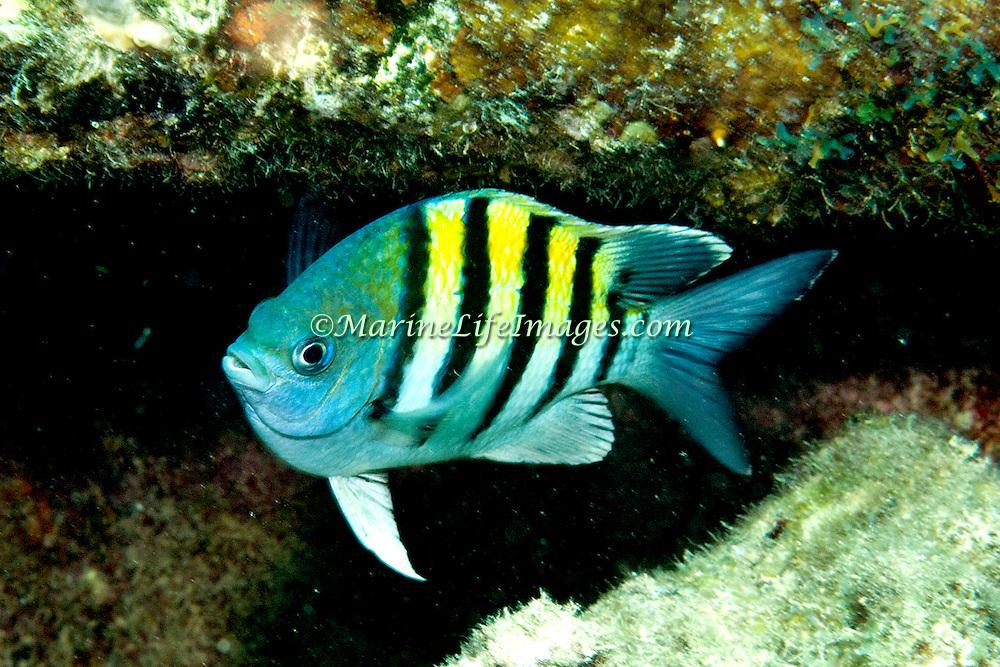 Sargent Major inhabit nearly all habitats in Tropical West Atlantic; picture taken Key Largo, FL.
