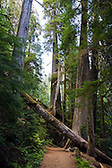 A tree fallen across the trail to Grove of the Patriarchs in Mount Rainier National Park, Washington State, USA