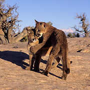Mountain Lion or Cougar, (Felis concolor) Pair of cubs in canyon lands of Utah playing.  Captive Animal.