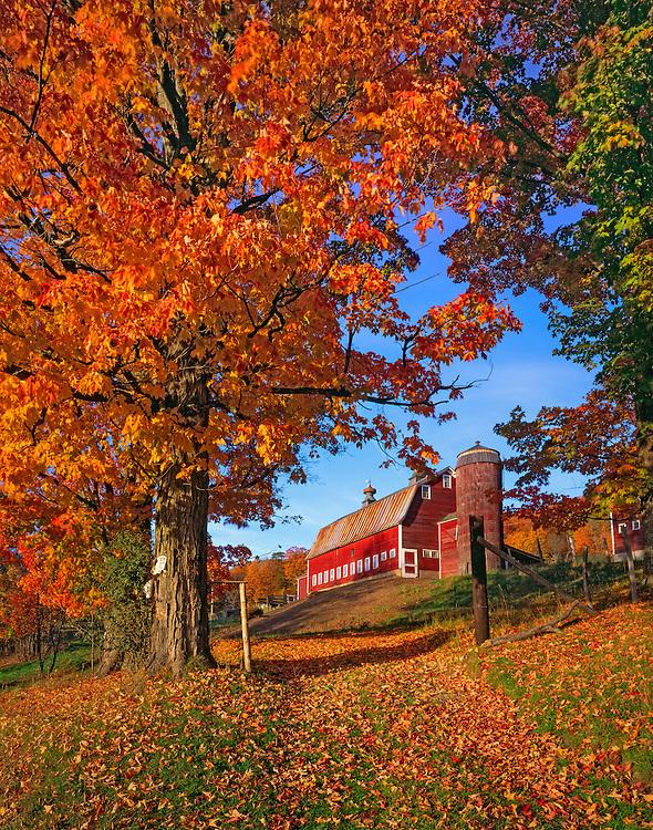 Sugar maple & fallen leaves frame view of red gambrel barn & silo on little hill, South Pomfret, VT