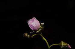 Sundew, Drosera peltata