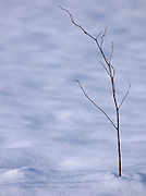 A twig in the snow of Hokkaid?, Japan
