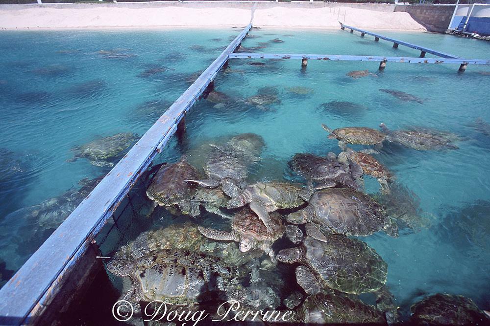 green sea turtles, Chelonia mydas (c), in pens at Cayman Turtle Farm; artificial nesting beach in background, Grand Cayman ( Caribbean Sea )