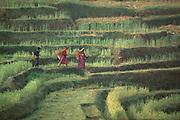 Nepali rice terrace
