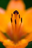Fire Lily (Lilium bulbiferrum)<br /> Triglav National Park, Slovenia<br /> June 2009