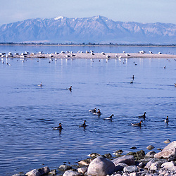 Syracuse, UT. Phalaropes and gulls on Utah's Great Salt Lake as seen from the Antelope Island Causeway.