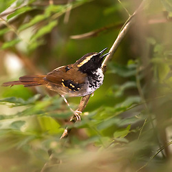 Formigueiro-assobiador em Domingos Martins, ES. Ave encontrada exclusivamente no Brasil. A plumagem dos sexos difere principalmente quanto à cor da garganta, preta no macho e bege na fêmea.