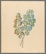 Pentand. mono. [Ehretia rigida] (1817) (puzzle bush, also deurmekaarbos) from a collection of ' Drawings of plants collected at Cape Town ' by Clemenz Heinrich, Wehdemann, 1762-1835 Collected and drawn in the Cape Colony, South Africa