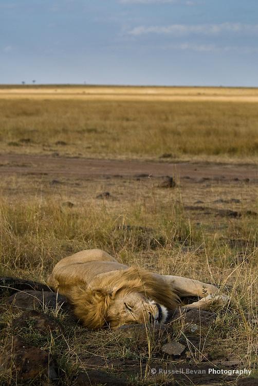 A sleeping male lion in the Masai Mara National Park, Kenya