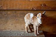 Nigerian Dwarf Goat kids in the barn.