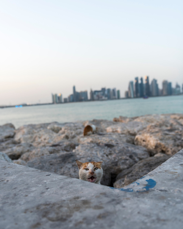 A street can meows from atop rocks lining a section of Doha Bay in Doha, Qatar. The city's modern skyline is in the distance.