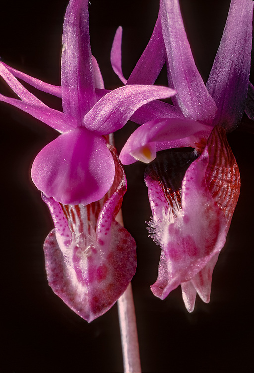Calypso orchid (Calypso bulbosa) Olympic National Park, Washington, USA