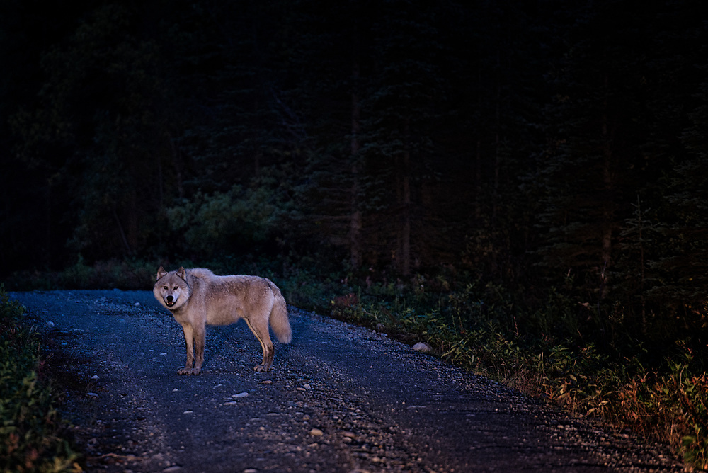 A gray wolf pauses along a valley road in remote Alaska.