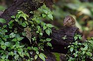Northern treeshrew, Tupaia belangeri, Gaoligongshan Nature Reserve, Yunnan, China