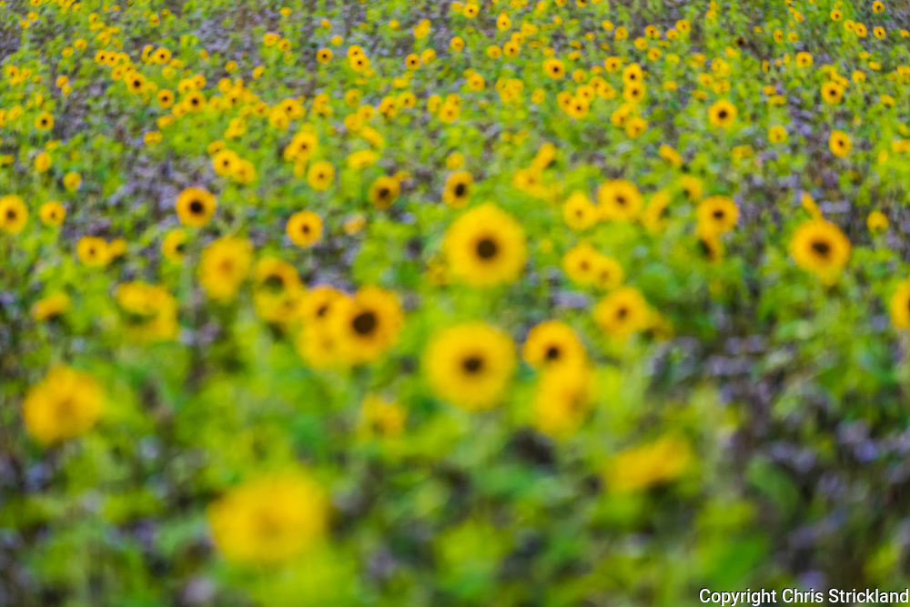 Linton, Kelso, Scottish Borders, Scotland, UK. 25th August 2021. An abstract view of a field of sunflowers.