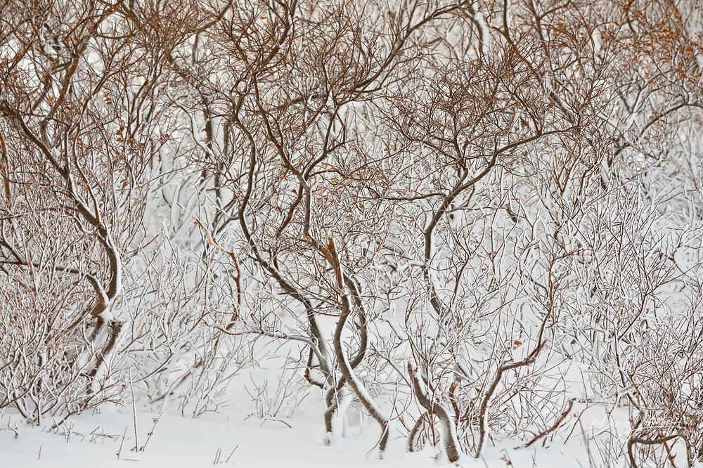 Willow shrubs with windblown snow, Churchill, Manitoba, Canada