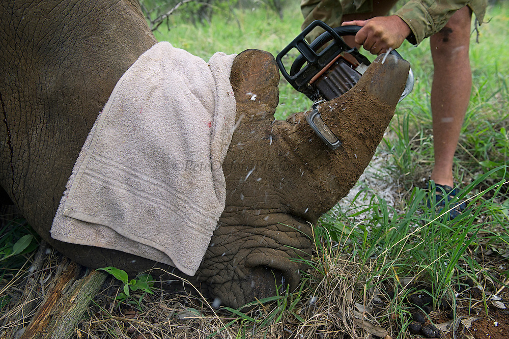 White rhinoceros (Ceratotherium simum) darted for relocation and cutting off of horns<br /> Private Farm<br /> SOUTH AFRICA<br /> RANGE: Southern & East Africa<br /> ENDANGERED SPECIES